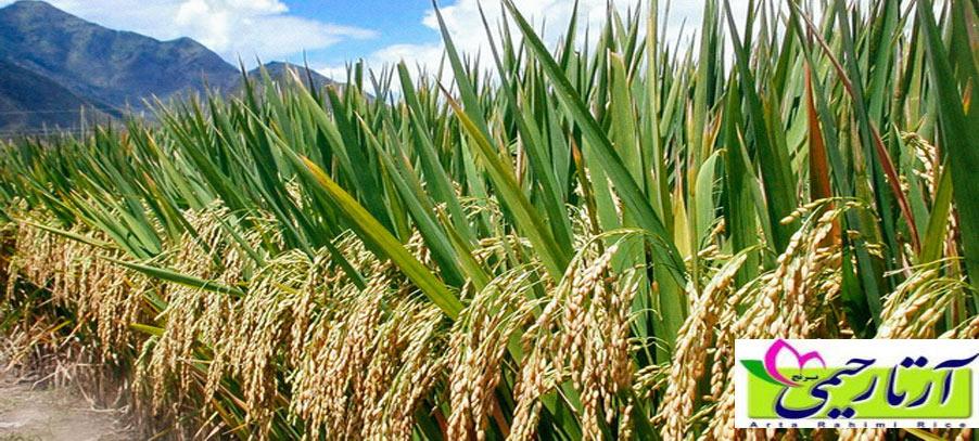 برنج از نگاه طب سنتی