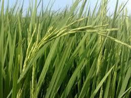 مشخصات برنج چیست
