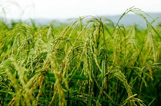 برنج شيرودي