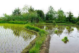 تشخيص برنج شمالي مرغوب