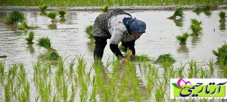 نكات پخت برنج شمال