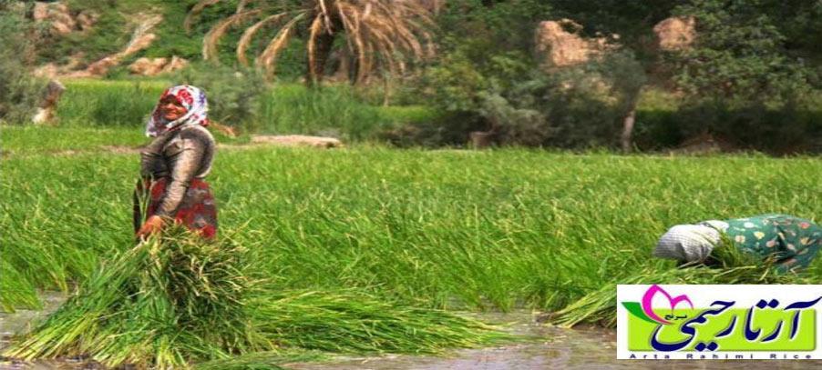 سلامت برنج ایرانی تایید شد
