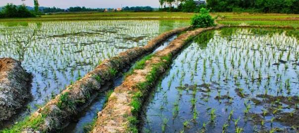 برنج چین دوم
