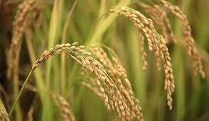 بذر برنج