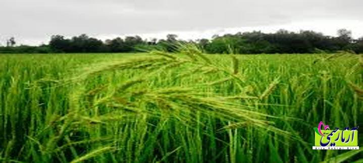 خصوصيات برنج فجر