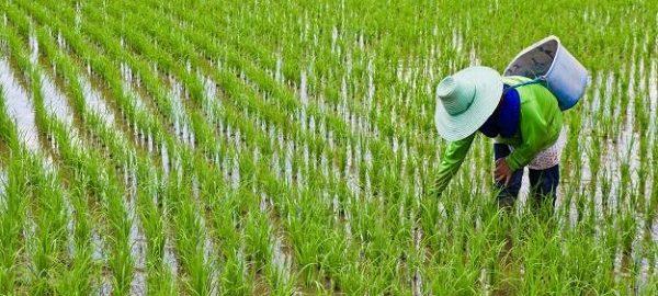 مرغوبيت برنج طارم