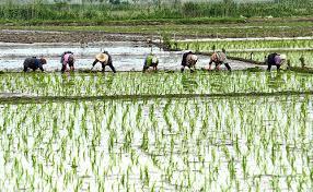 برنج پر محصول
