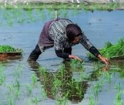 اصلاح بذر برنج با  کاهش ۲۵ درصدی مصرف آب