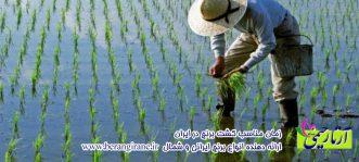زمان مناسب کشت برنج در ایران
