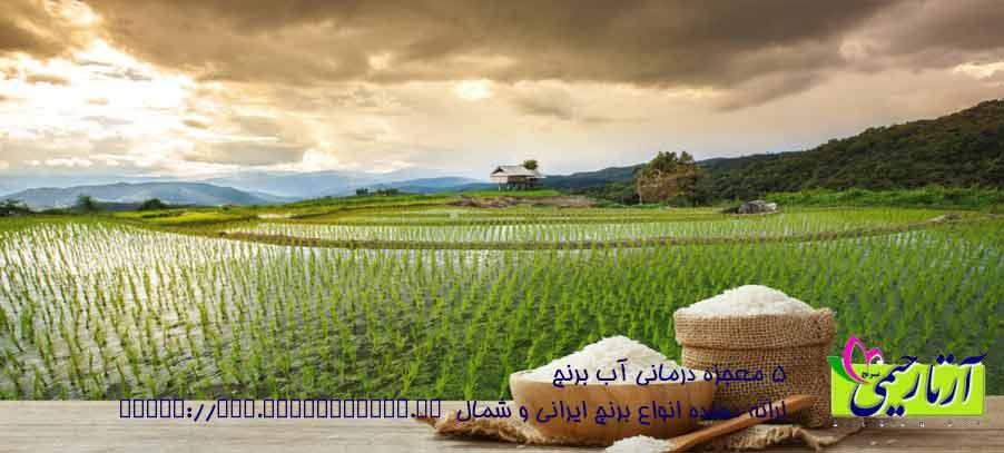 اکولوژی برنج