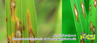 آفات و بیماری های برنج
