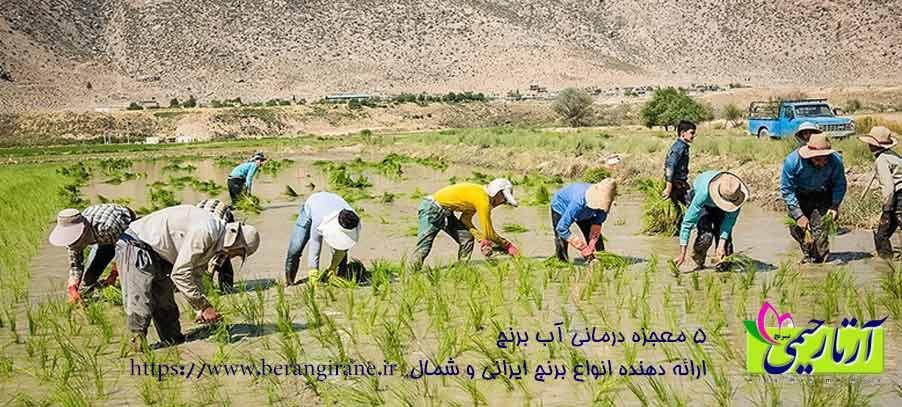 آیا برنج کاری در خوزستان حذف می شود؟