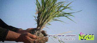 دستورالعمل ضدعفونی بذر برنج