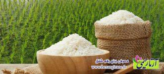 معرفی برنج رقم شفق