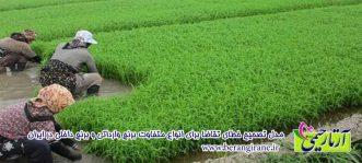 بررسی تقاضا و تخمین قیمت انواع برنج داخلی و وارداتی
