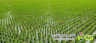 تفاوت دوره های کشت برنج
