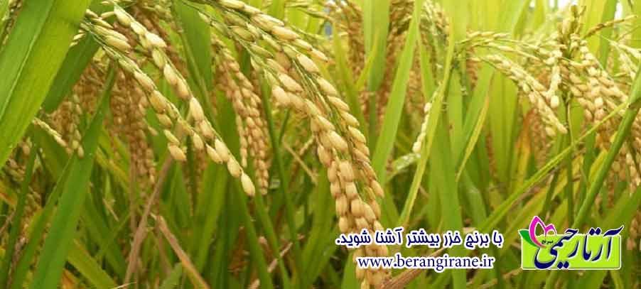 با برنج خزر بیشتر آشنا شوید.