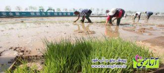 پرورش برنج در آب شور