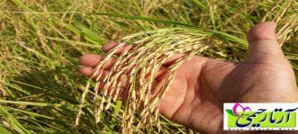 بهترین برنج ایرانی برای کدام شهر است؟