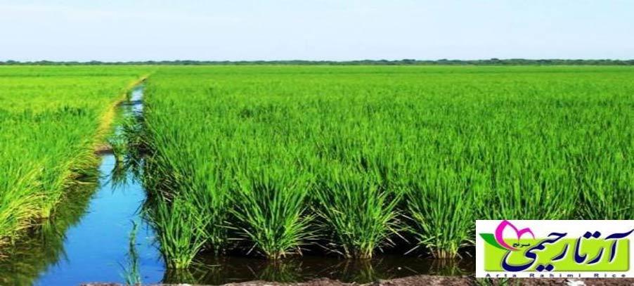 گرانترین برنج ایرانی در بازار کدام است؟