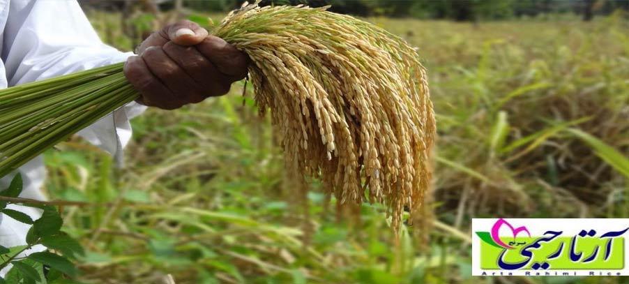 ارزانترین برنج ایرانی در بازار