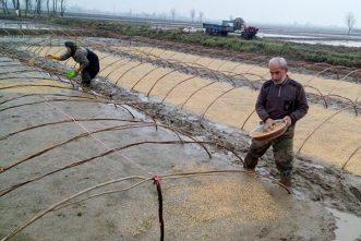 ماجرای افزایش تقلب در فروش برنج ایرانی