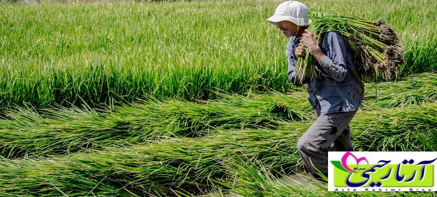 برنج ندا بخریم یا برنج هاشمی ؟