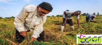 در خرید برنج طارم هاشمی به چه نکاتی باید توجه کنیم؟