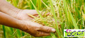 بوی برنج خوب چگونه است؟