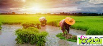 برنج ایرانی چی خوبه