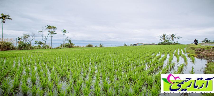 میزان تولید برنج در گیلان