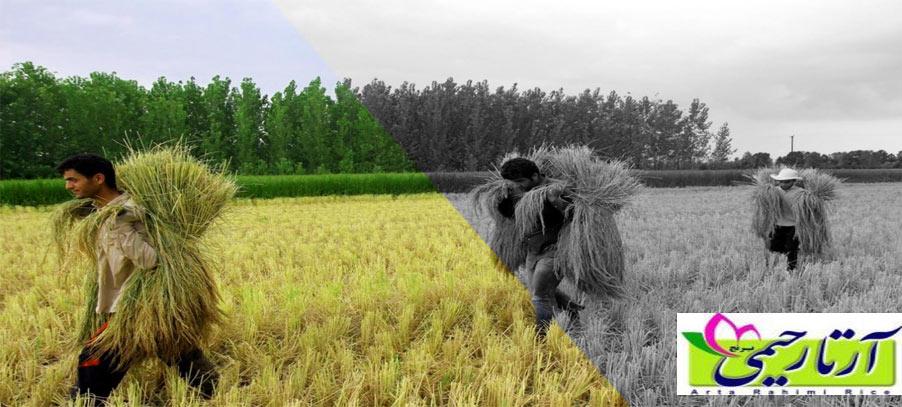 تفاوت برنج گیلان و مازندارن ، کدام بهتر است؟