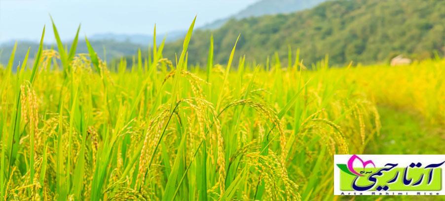 برنج عنبر بو اصل مال کجاست و چطور پخته میشه ؟