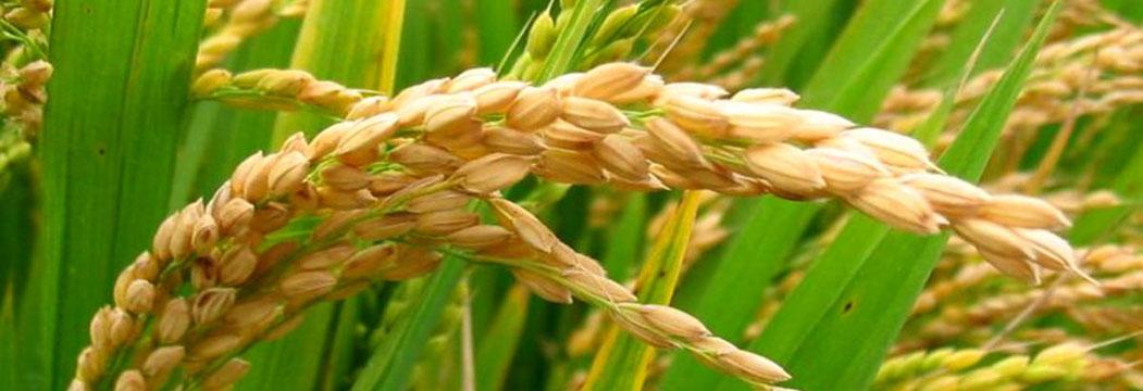 برنج های مرغوب ایرانی